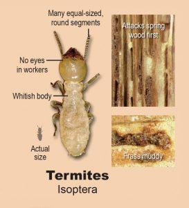 Termites infographic