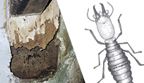 WDO Inspections - termite and termite damage